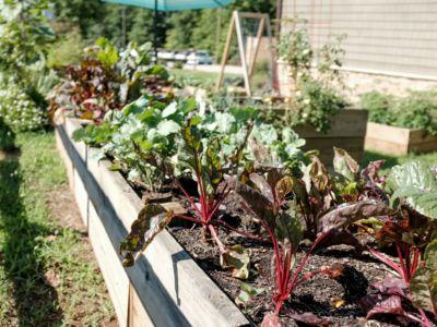 a lettuce garden